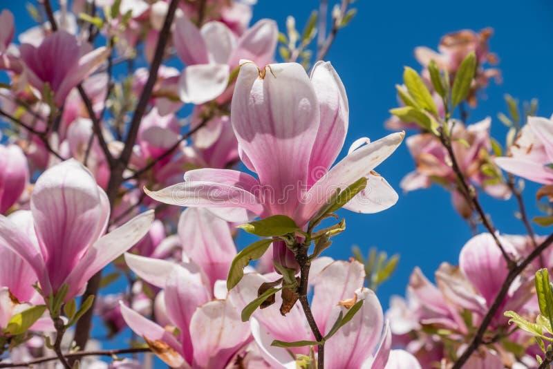 Kwitnąca magnolia na niebieskiego nieba tle zdjęcie royalty free