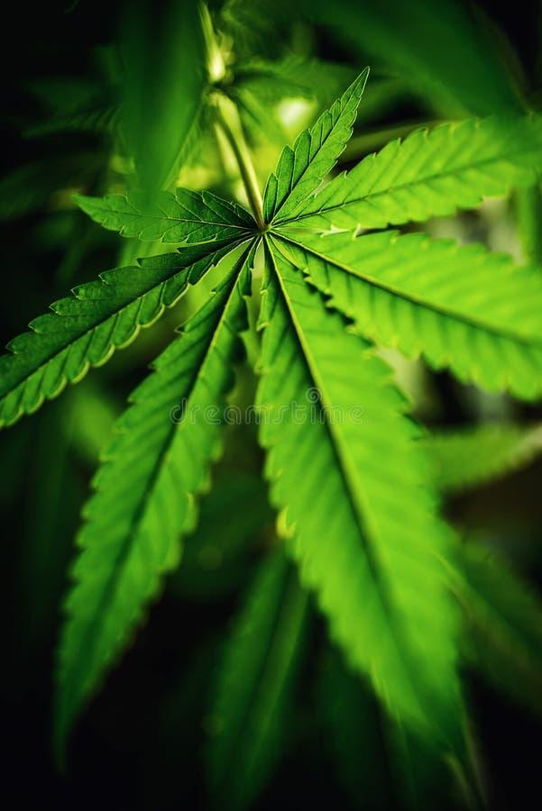 Kwitnąca marihuany roślina z wczesnymi białymi kwiatami, marihuany sativa medyczna roślina zdjęcia stock