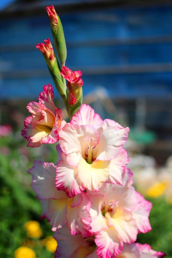 Kwitnąca menchia z białym gladiolusa ogródem kwitnie w lecie obraz royalty free