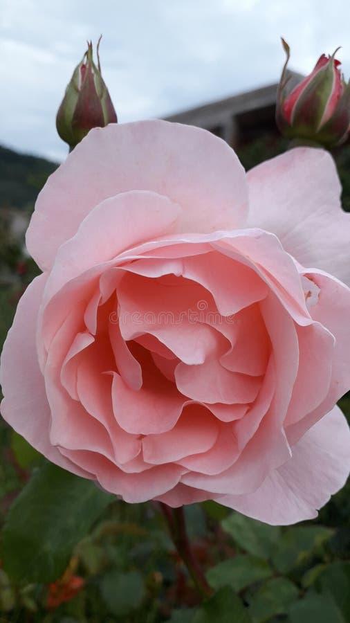 Kwitnąca menchii róża w ogródzie obrazy royalty free