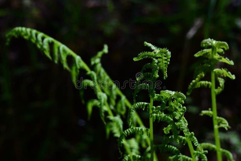 Kwitnąca paproć na ciemnym tle w lesie pojęcie jedność z naturą, pokój Monitorować przyrosta paproć fotografia royalty free