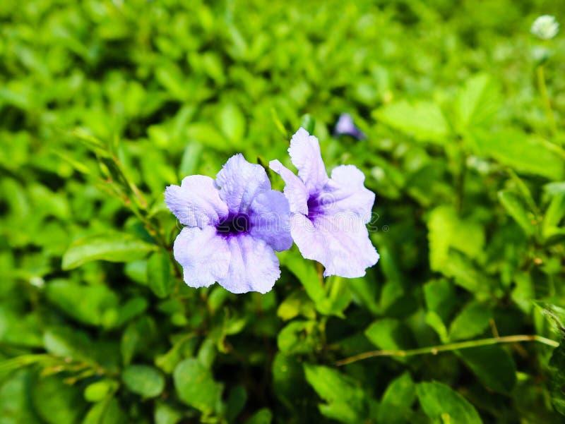 Kwitnąca purpura kwitnie na trawy polu zdjęcie stock