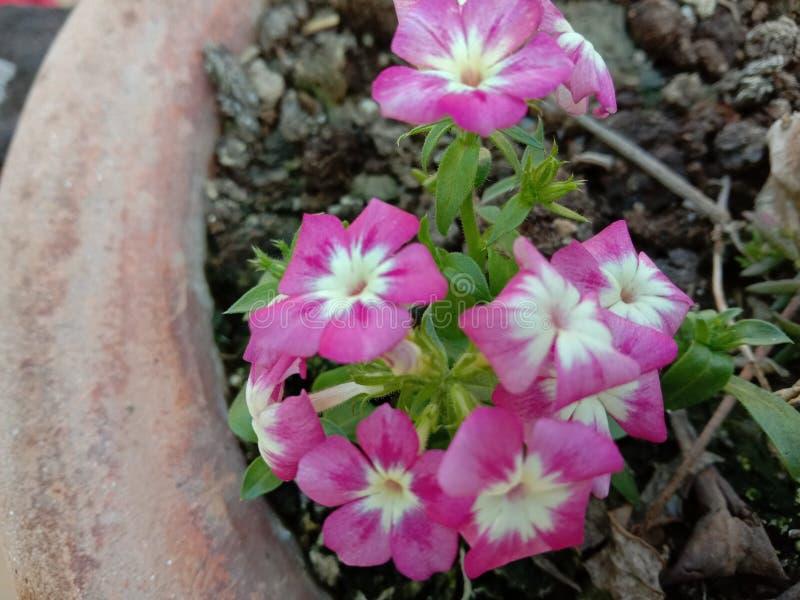 Kwitnąca roślina kwiatowa w Indiach Uttar Pradesh Kanpur obrazy stock