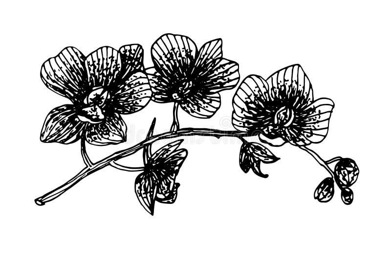Kwitnąca storczykowa phalaenopsis girlandy gałąź grafika atramentu nakreślenia ilustracja ilustracji