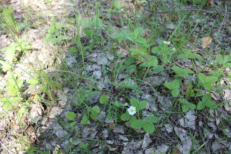 Kwitnąca truskawka w lata polu 30975 zdjęcie royalty free