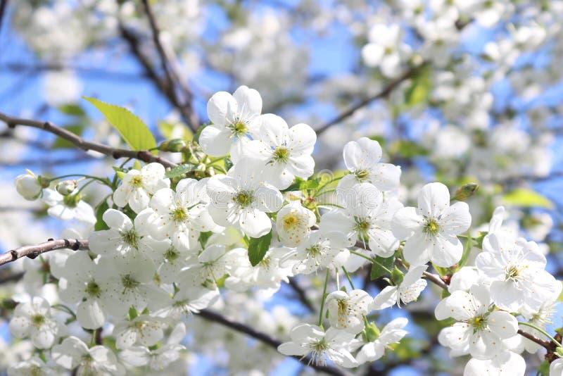Kwitnąca wiśni gałąź na niebieskiego nieba tle pi?kne kwiaty, bia?e obraz stock