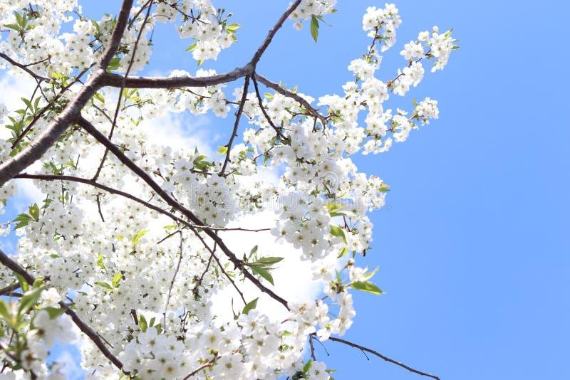 Kwitnąca wiśni gałąź na niebieskiego nieba tle pi?kne kwiaty, bia?e fotografia stock
