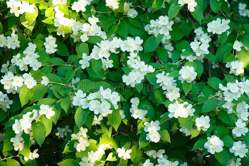 Kwitnąca wiśnia kwitnie w wiośnie z zielonymi liśćmi, naturalny kwiecisty tło obrazy stock
