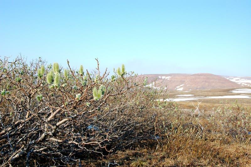 Kwitnąca wierzba na tundrowym (północny Syberia) zdjęcie royalty free