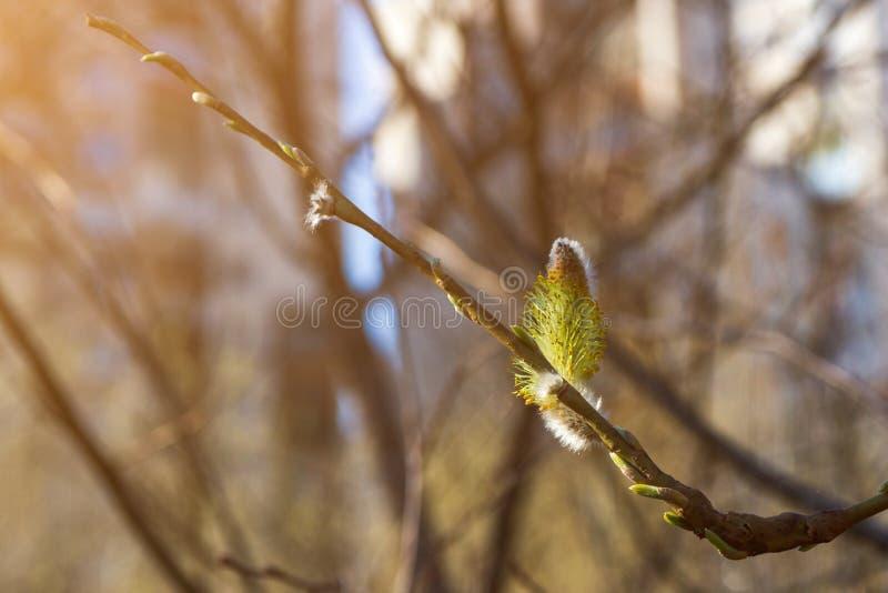 Kwitnąca wierzbowa bazia z pollen Dla alergii pojęcia fotografia stock