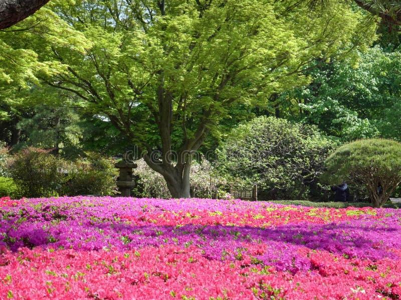 Kwitnące azale i klonowe drzewo w pałacu imperialnym, tokyo zdjęcie royalty free