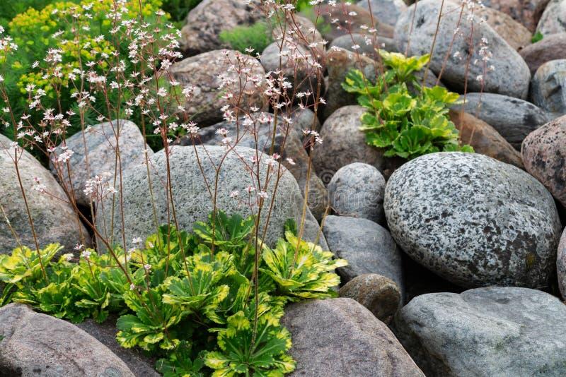 Kwitnące badanu umbrosa rośliny w małym rockery w lecie uprawiają ogródek obrazy stock