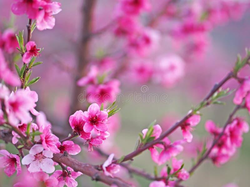 Kwitnące drzewa brzoskwiniowe obraz stock