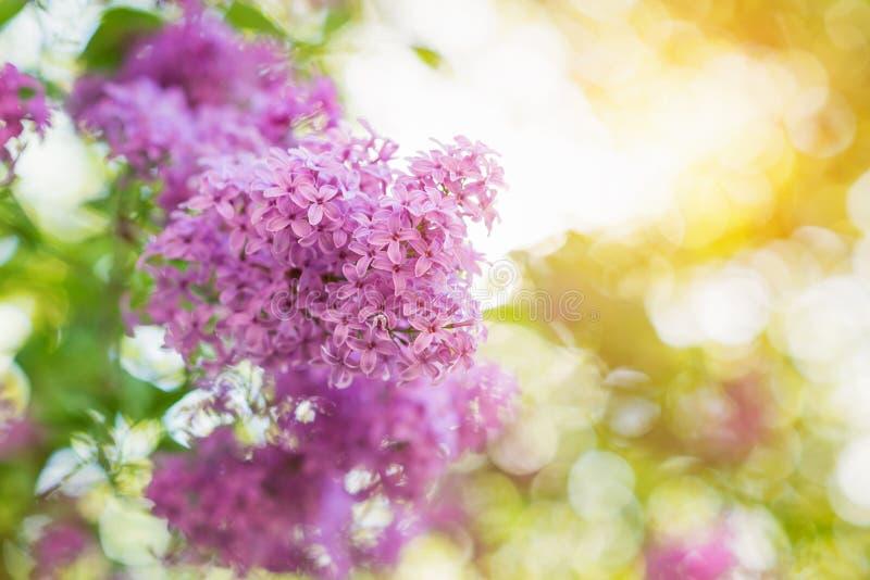 Kwitnące gałąź z fiołkowymi lilymi kwiatami Wiosna S obrazy royalty free