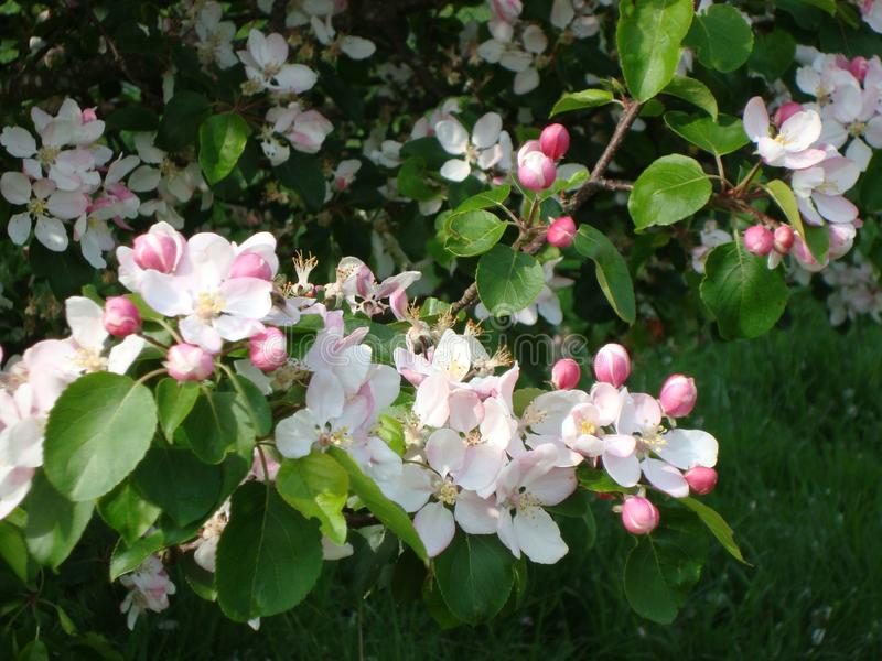 Kwitnące jabłko gałązki obraz stock
