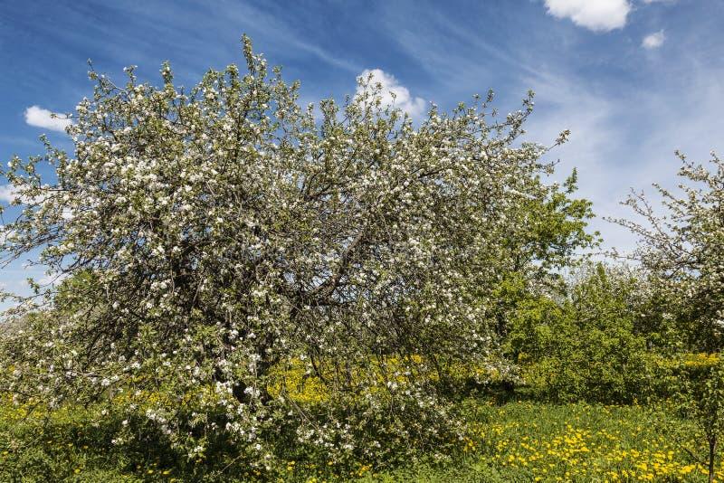 Kwitnące jabłonie i dandeliony w ogródku wiosennym obrazy royalty free
