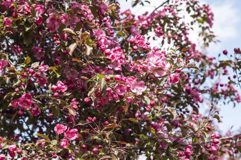 Kwitnące jabłonie z różowymi kwiatami zdjęcie stock