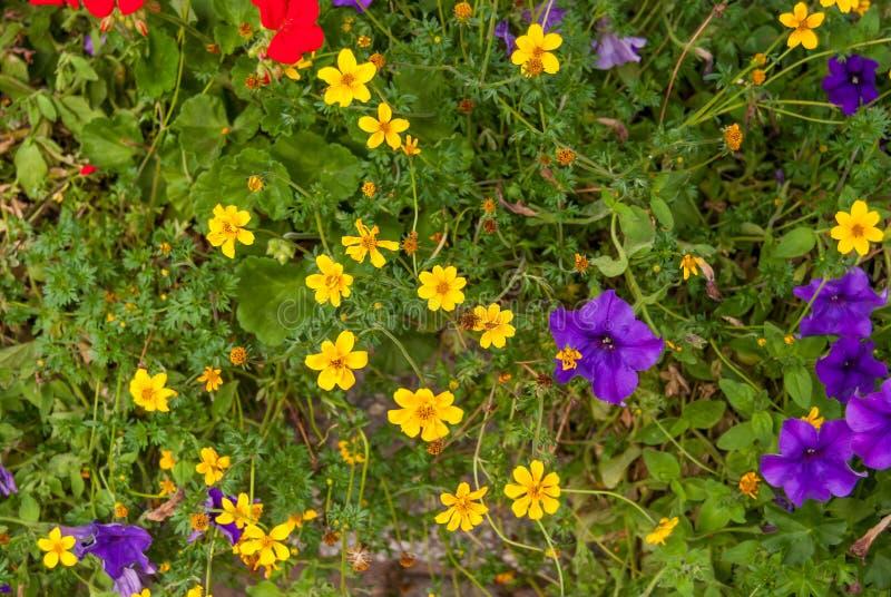 Kwitnące jaskrawe łąki Szwajcarscy Alps zdjęcia royalty free