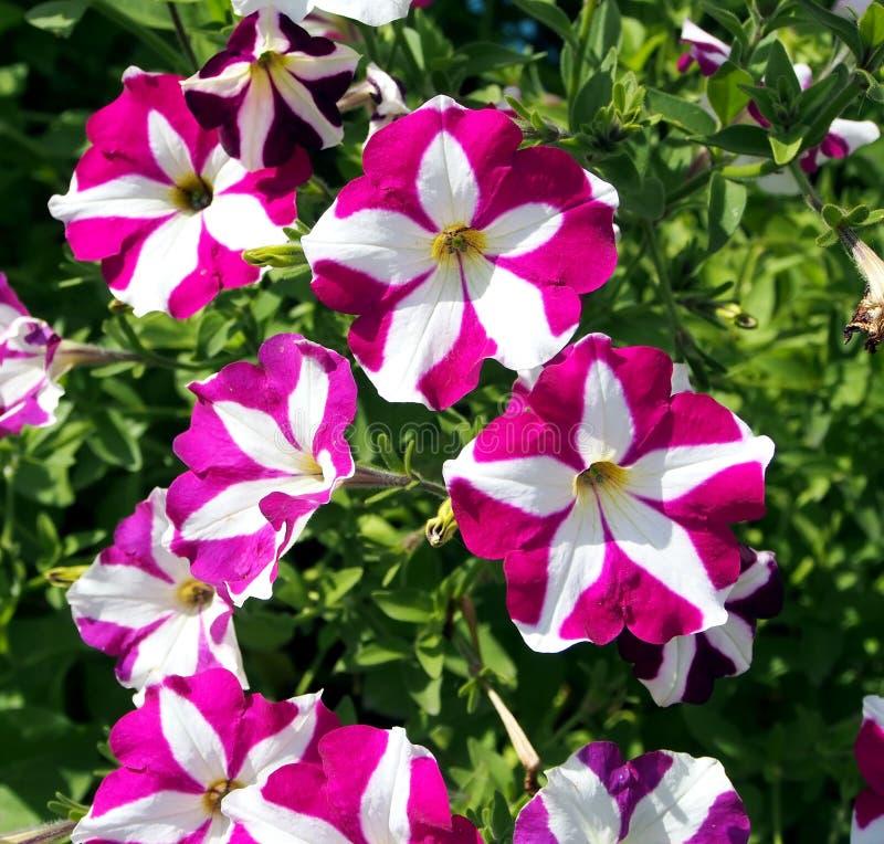 Kwitnące kolorowe petunie w ogródzie obrazy royalty free