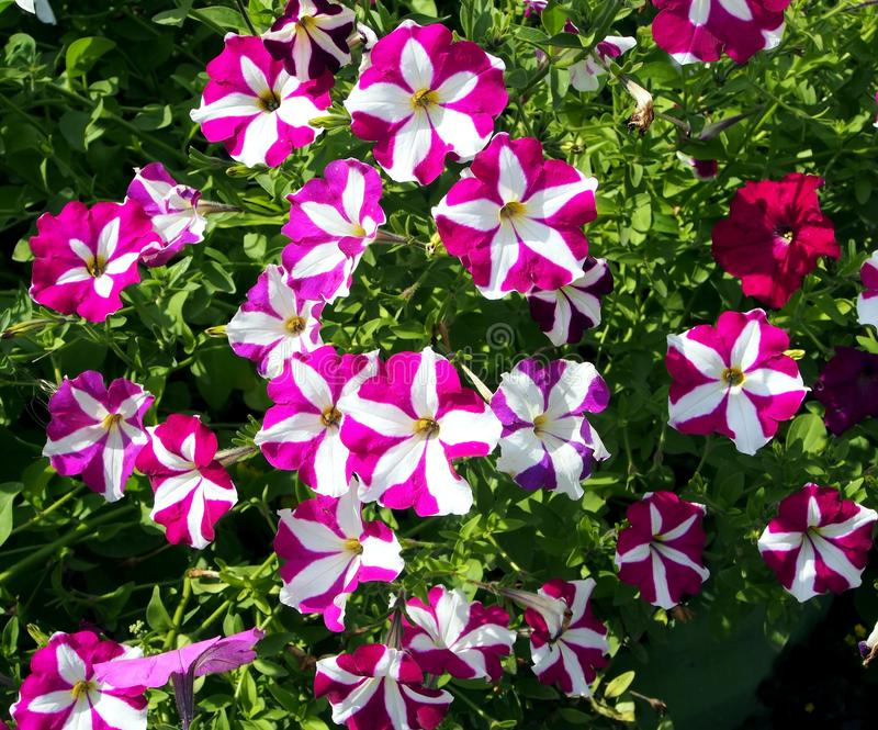 Kwitnące kolorowe petunie w ogródzie zdjęcie royalty free