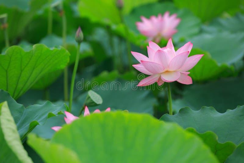 kwitnące kwiatu lotosu menchie zdjęcie stock