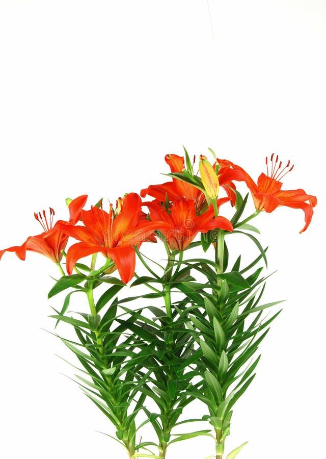 kwitnące lilie obrazy royalty free