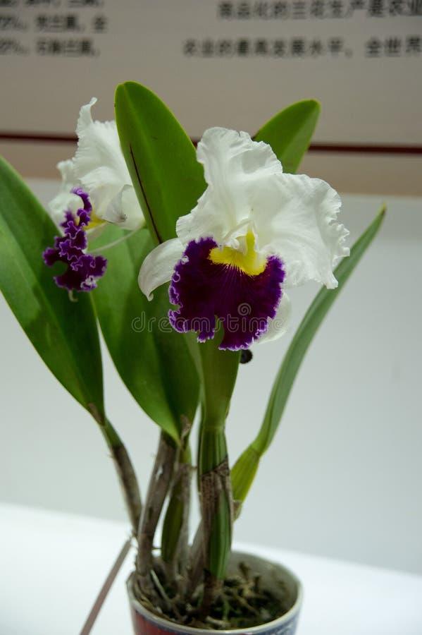 kwitnące orchidee fotografia stock