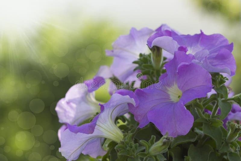 Download Kwitnące Petunie W świetle Słonecznym Obraz Stock - Obraz złożonej z chmura, centrum: 41951293