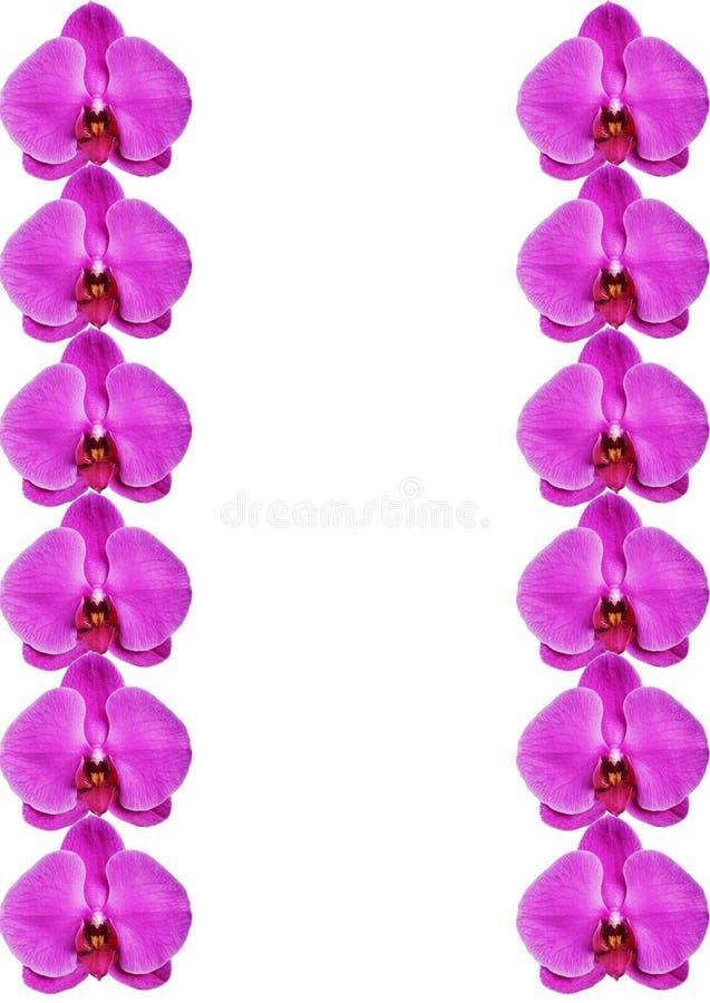 Kwitnące piękne różowe orchidee odizolowywać na białym tle obrazy stock