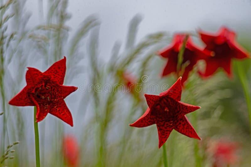 Kwitnące Popielate ` s leluje niemego tło zdjęcia stock