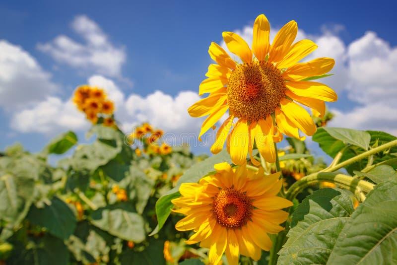 Kwitnące słonecznik głowy w kultywującym uprawy polu obrazy stock
