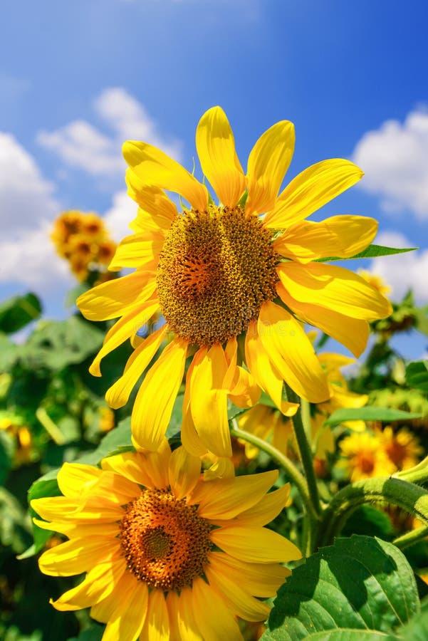 Kwitnące słonecznik głowy w kultywującym uprawy polu zdjęcie royalty free