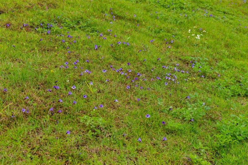 Kwitnące 'Torenia concolor' przez cały rok obraz royalty free
