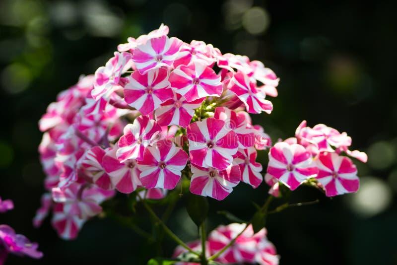 Kwitnącego floksa ` skręta Miętowy ` w ogródzie obraz royalty free