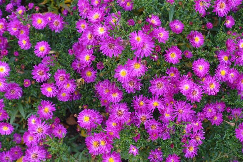 Kwitnącego kwiecenie kwiatów tła Fiołkowe purpury I zieleń fotografia royalty free