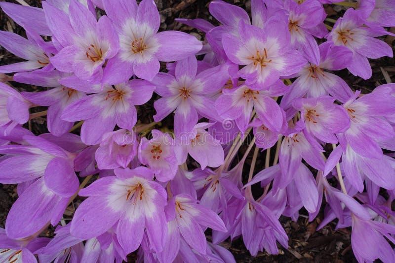 Kwitnącego kwiecenie kwiatów tła Fiołkowy Purpurowy krokus I zieleń fotografia stock
