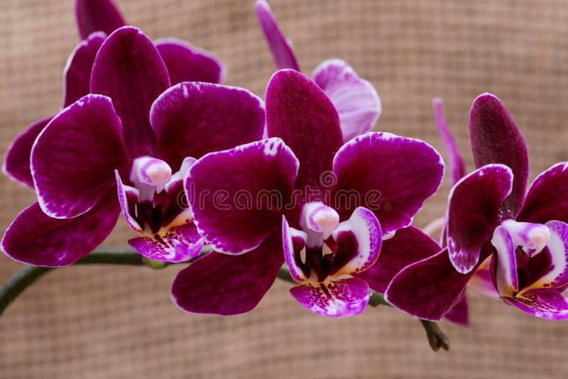 Kwitnącego Mini Aksamitnego Burgundy Phalaenopsis Storczykowa roślina odizolowywająca na naturalnym burlap tle ?ma orchidee Plemi fotografia stock