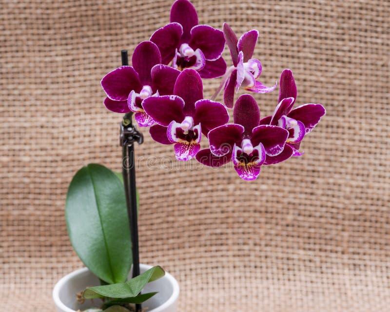 Kwitnącego Mini Aksamitnego Burgundy Phalaenopsis Storczykowa roślina odizolowywająca na naturalnym burlap tle ?ma orchidee Plemi zdjęcia stock