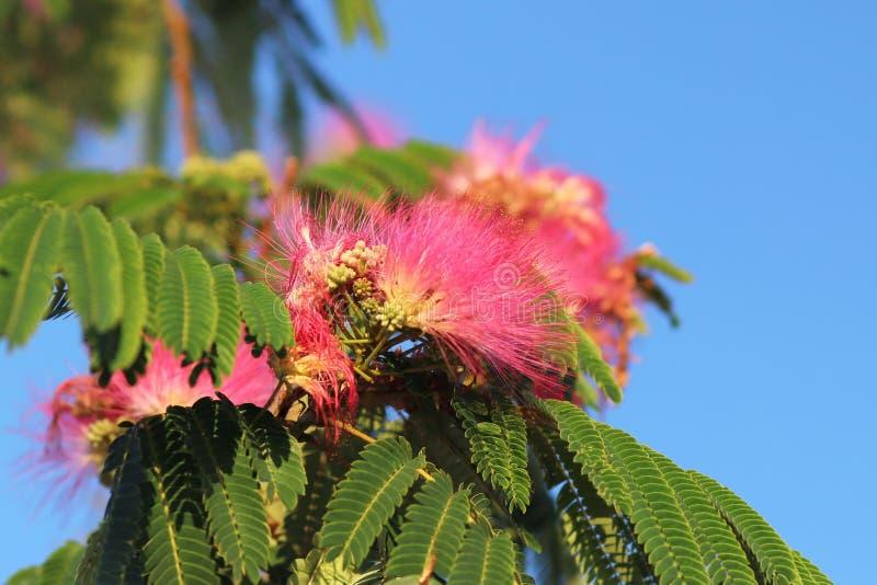 Kwitnącej mimozy czerwony kwiat z zielenią rozgałęzia się przeciw niebieskiemu niebu na pogodnym jasnym dniu Tropikalne rośliny t obraz stock