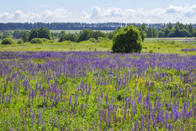 Kwitnący łąkowi łubiny, wiele Lupinus łubiny pole błękitni kwiaty Tła dzikiego lupine krajobrazowa kwitnąca łąka zdjęcie stock