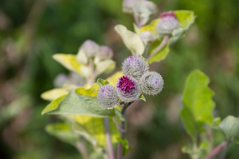 Kwitnący łopianowy Arctium lappa fotografia royalty free