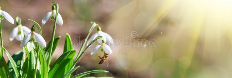 Kwitnący śnieżyczki Galanthus nivalis i ich zapyla miodowa pszczoła w wczesnej wiośnie w lesie obraz stock