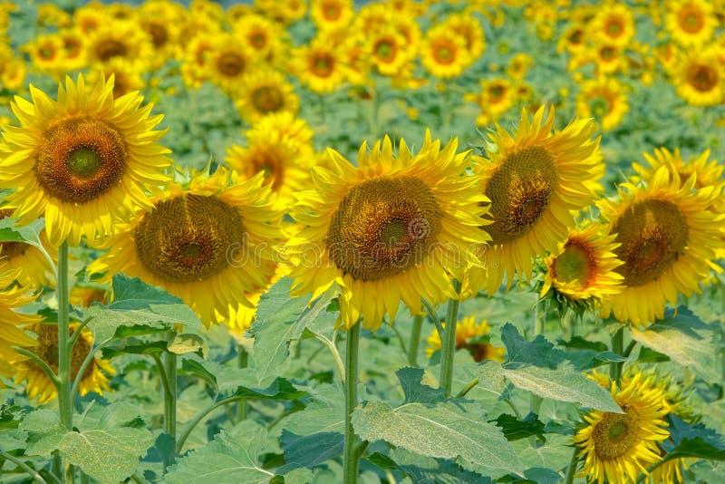 kwitnący śródpolny słonecznik zdjęcia stock