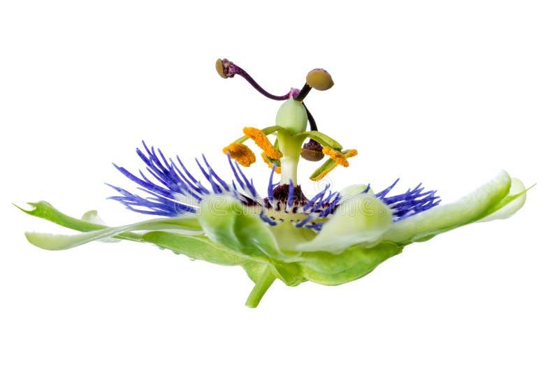 Kwitnący świeży passionflower kwiat odizolowywa na białym backgro obraz stock
