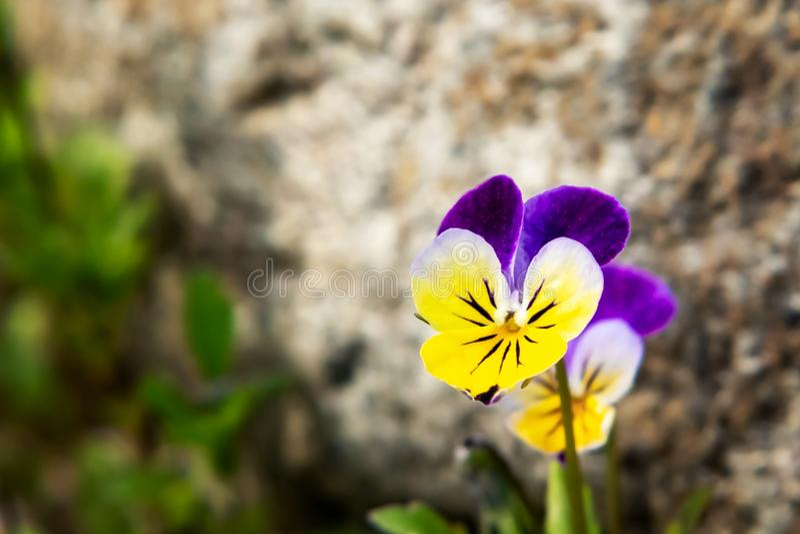 Kwitnący żółci fiołkowi fiołki odwiecznie w rockery w wiośnie uprawiają ogródek obraz royalty free