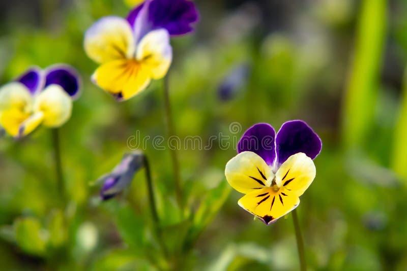 Kwitnący żółci fiołkowi fiołki odwiecznie w wiośnie uprawiają ogródek zdjęcie royalty free