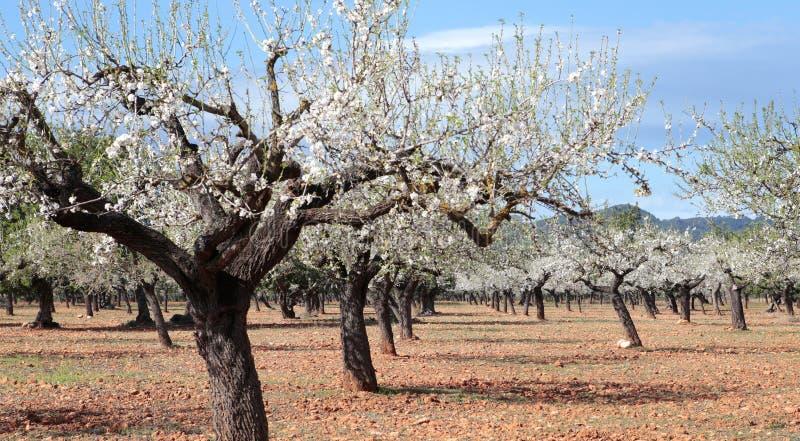 Kwitnący almon drzewa pole szerokiego fotografia stock