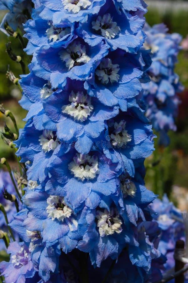 Kwitnący błękitny delphinium zakończenie up Delphinium elatum magii fontanny obrazy royalty free
