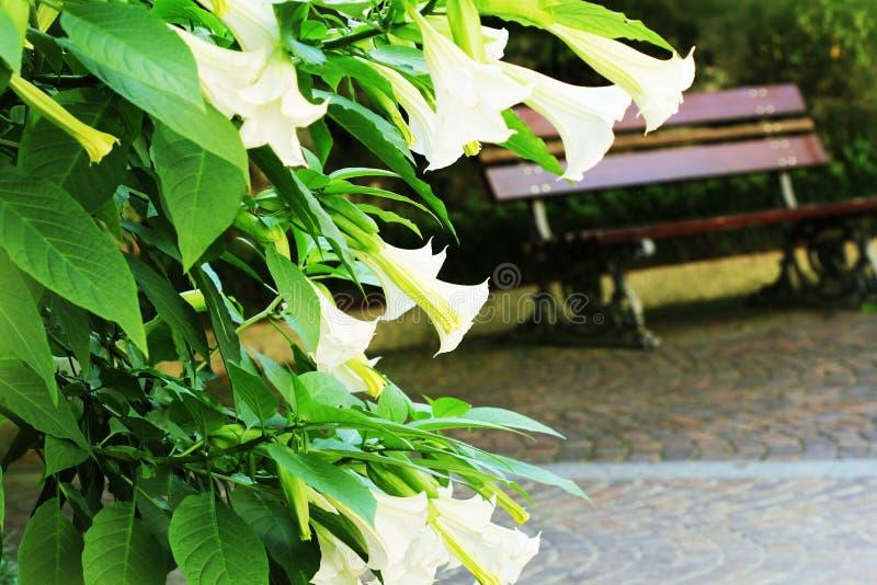 Kwitnący biały brugmansia kwiat lub kąta ` trąbki, datura w ogródzie obraz royalty free