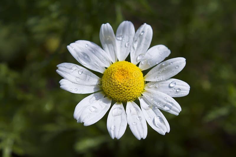 Kwitnący biały chamomile z kroplami deszczówka zdjęcia stock